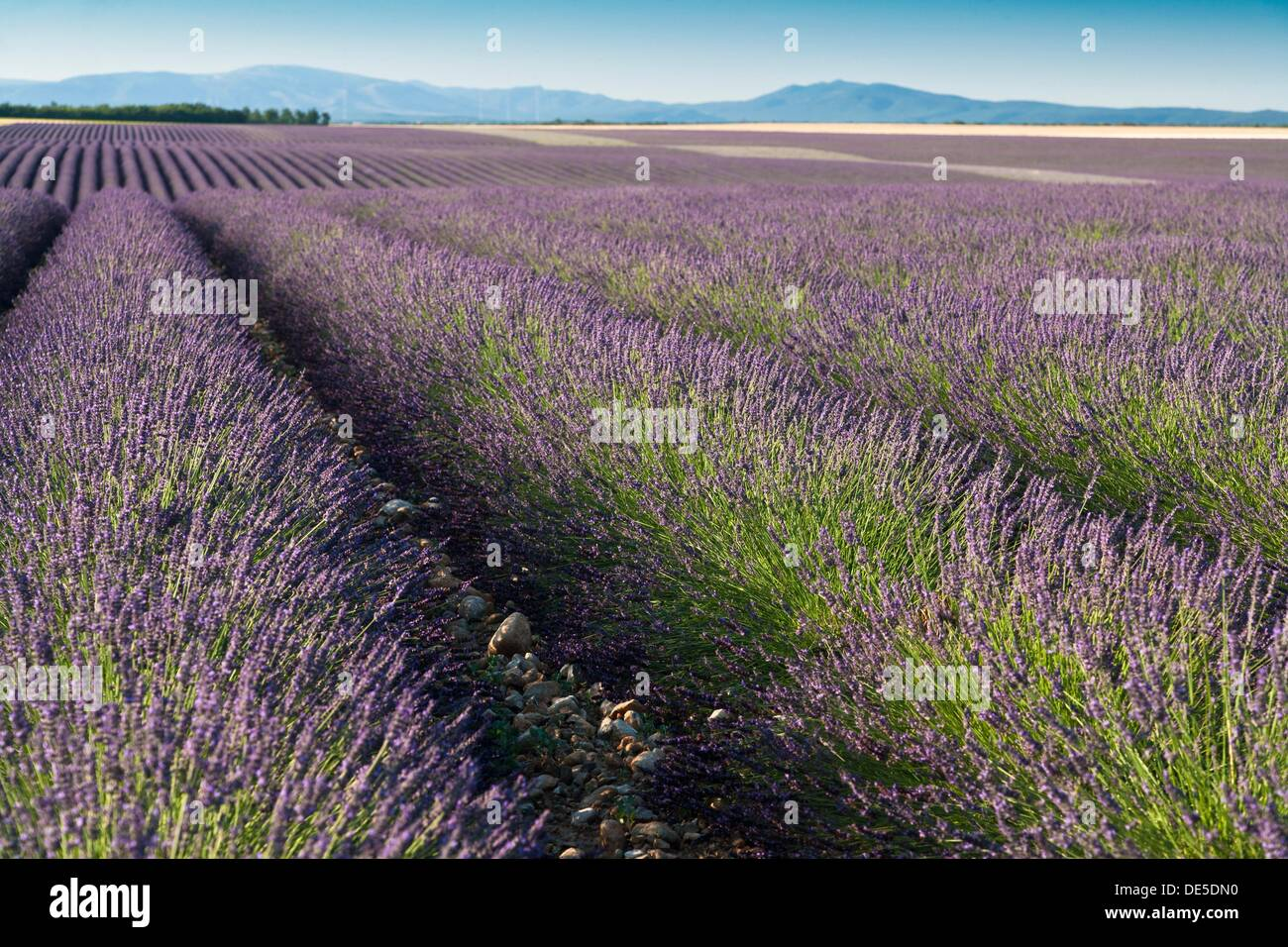 Rows of lavender on the Plateau de Valensole in Provence, France, Europe - Stock Image