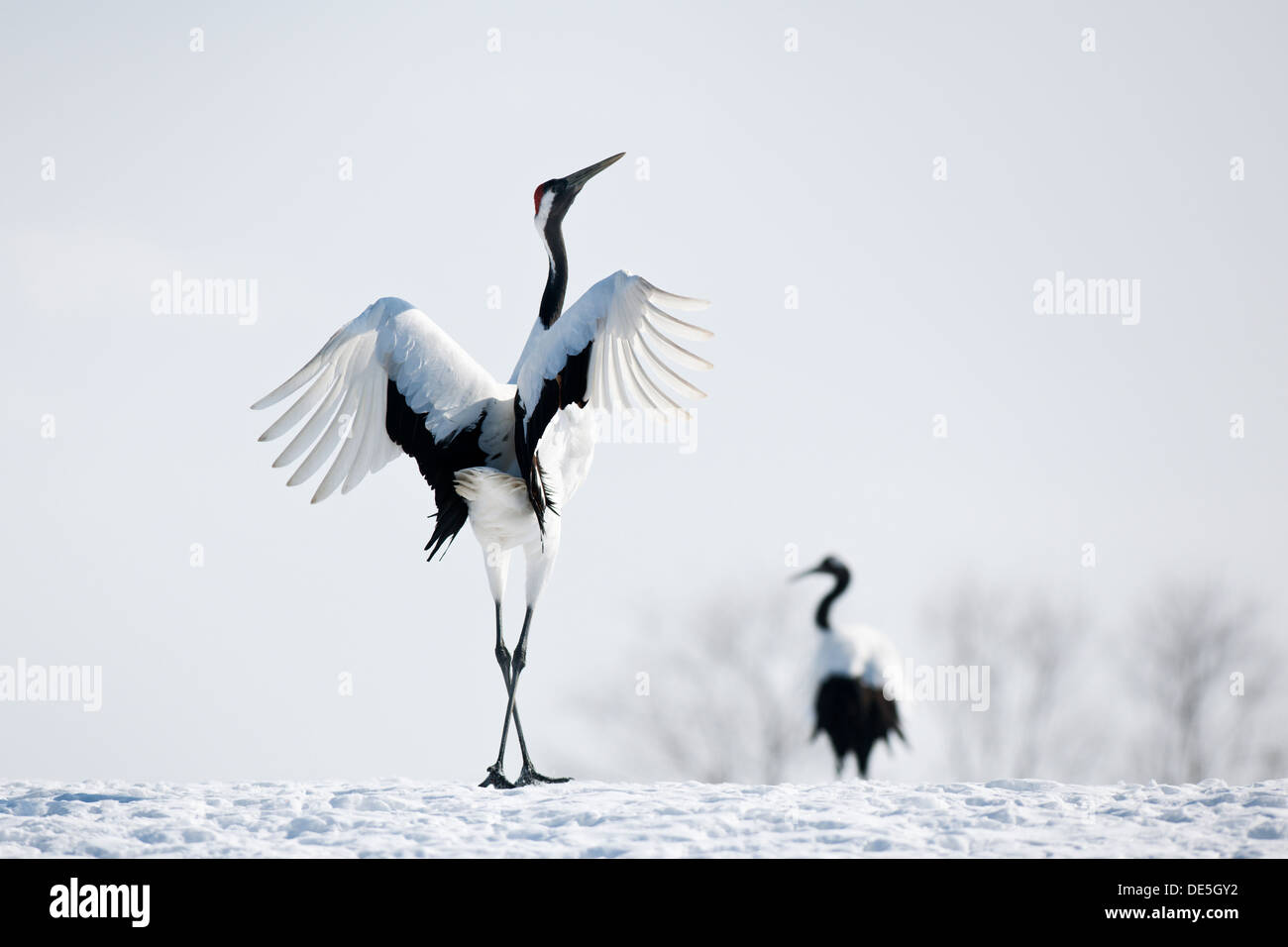 Japanese cranes at courtship. - Stock Image