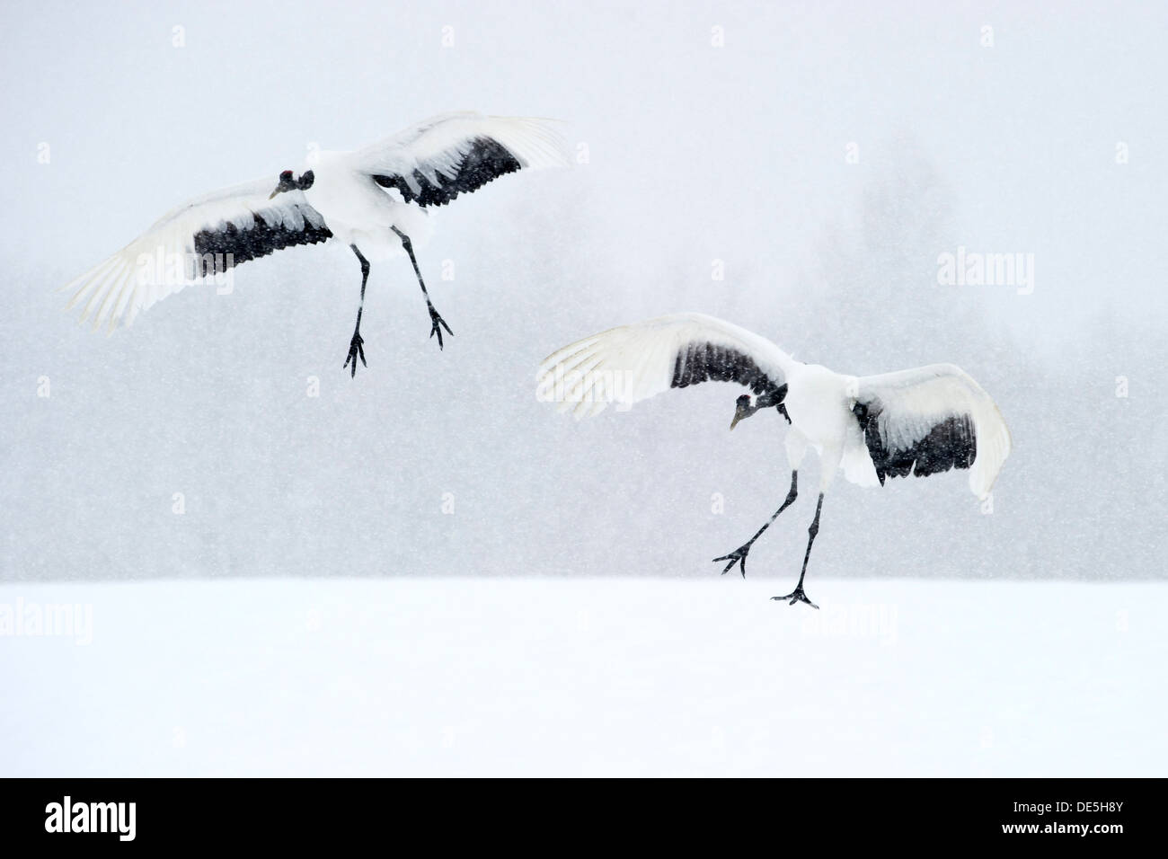 Japanese cranes landing on snow for courtship - Stock Image