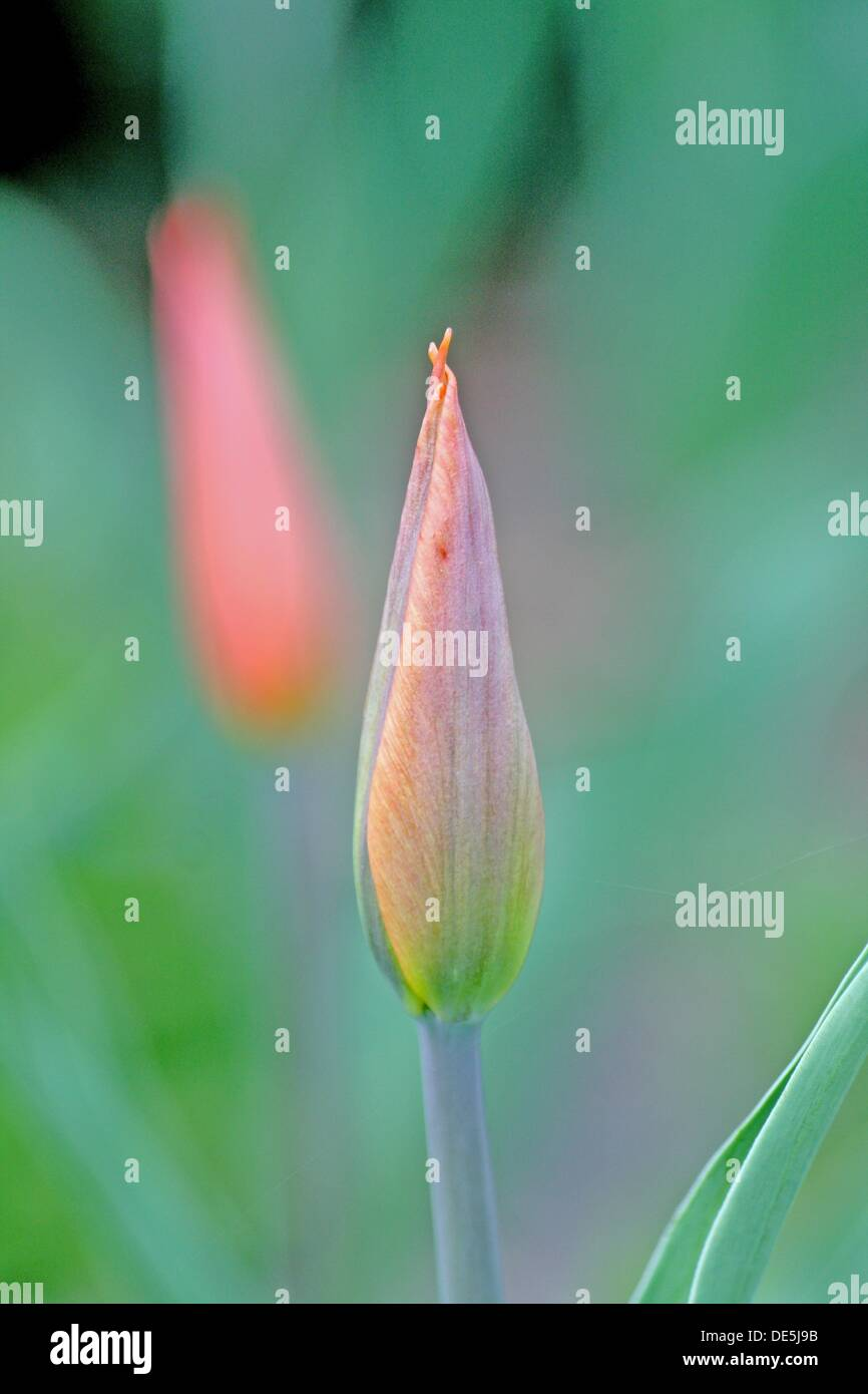 1702b648dfb5d Emerging pink tulip bud against a background of soft green and blue There  is a shadow