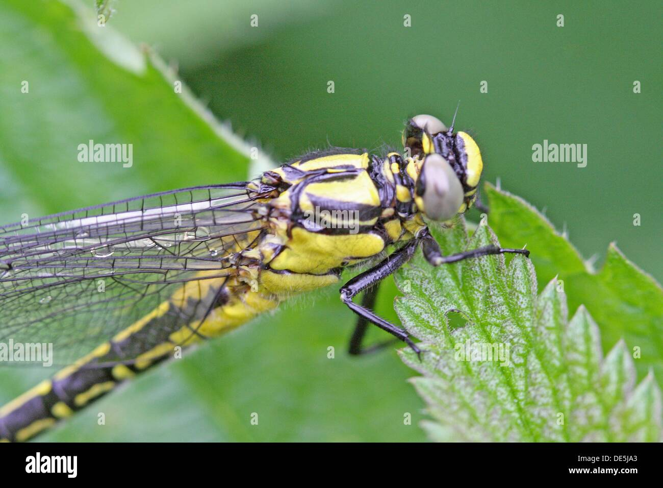 Newly emerged Common Clubtail from exuvia  Upper body  Clings to nettle leaf  Wings extended but draining  Water droplets can - Stock Image