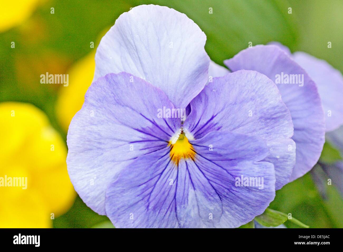 Large Round Blue Pansy Periwinkle Blue Pansy With Small Yellow Stock