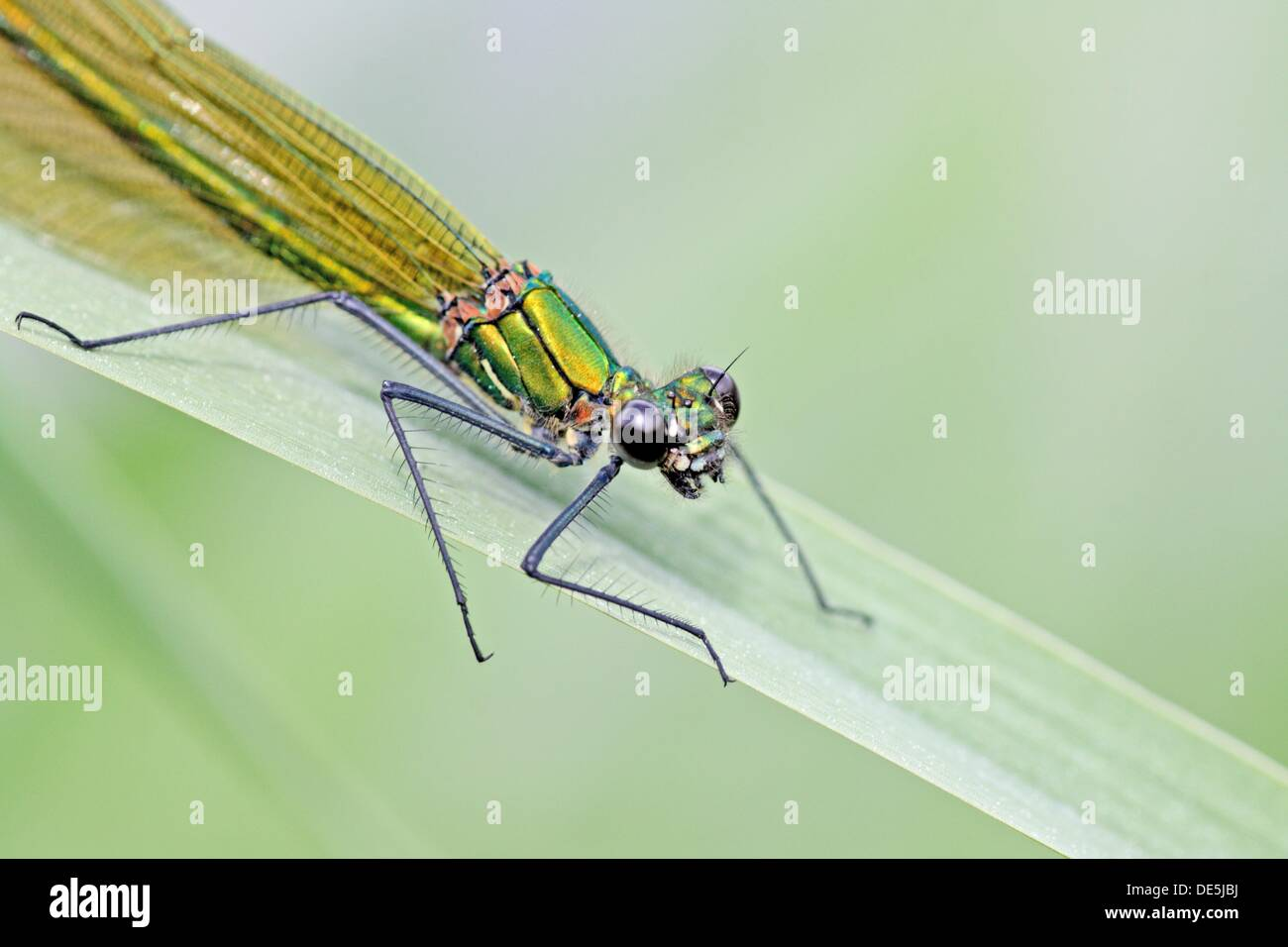 Beautiful Demoiselle, Calopteryx virgo,  Upper body only - Stock Image