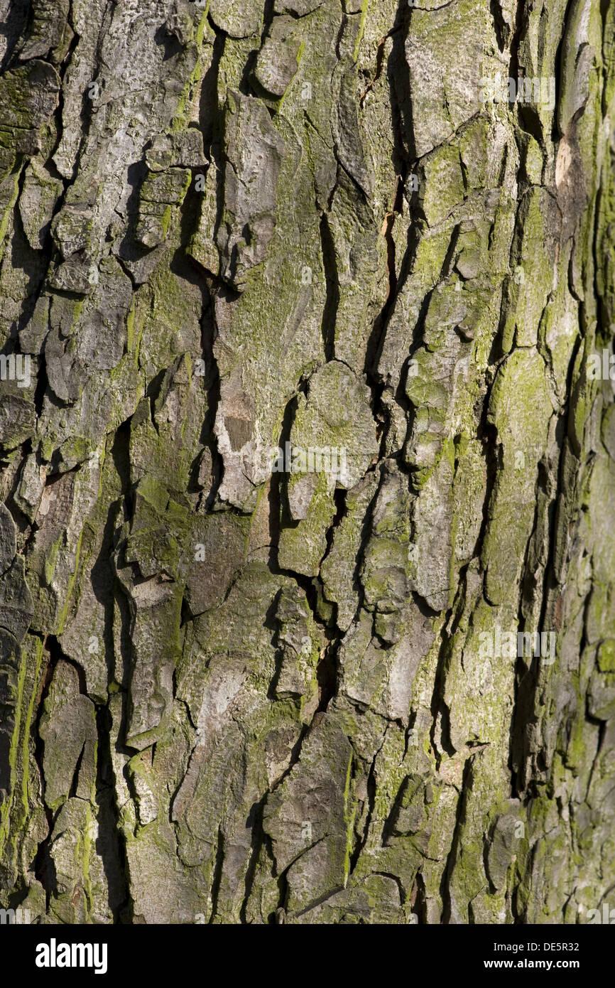 Horse-chestnut, Aesculus hippocastanum Stock Photo