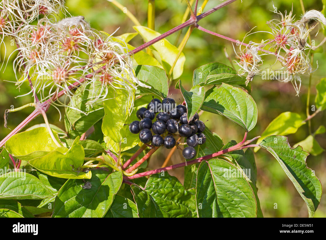 Traveller's-joy  with berries of Dogwood - Stock Image
