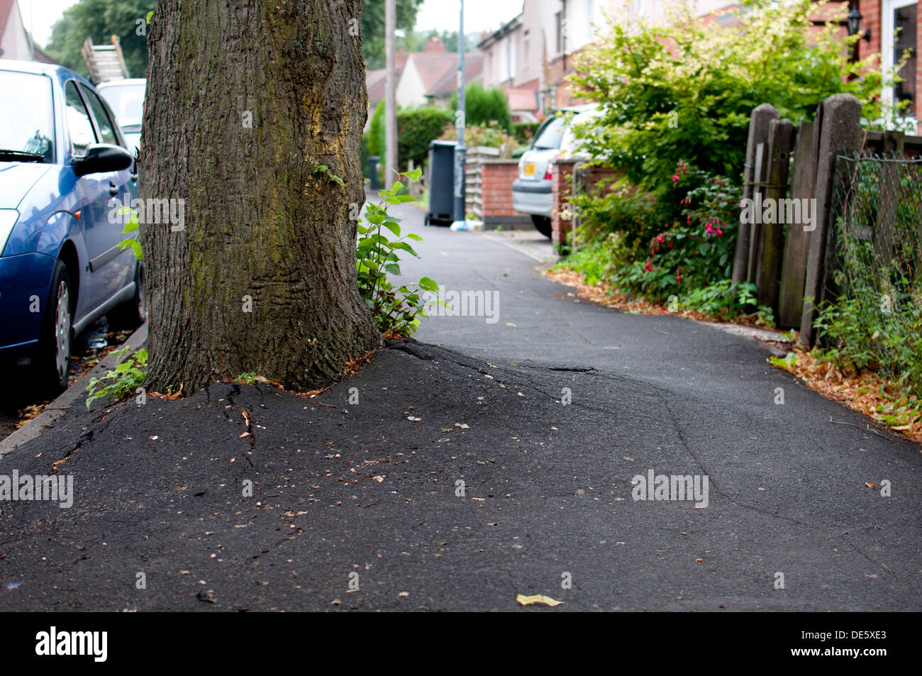 Lime tree roots forcing pavement tarmac up, Warwick, UK - Stock Image