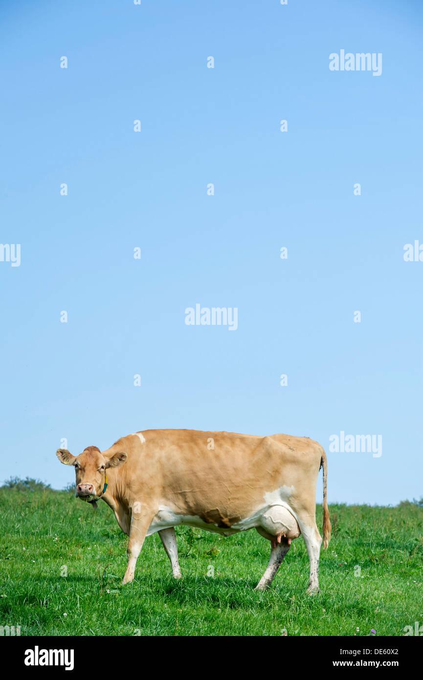 Jersey dairy cows graze in a green field, Devon - Stock Image