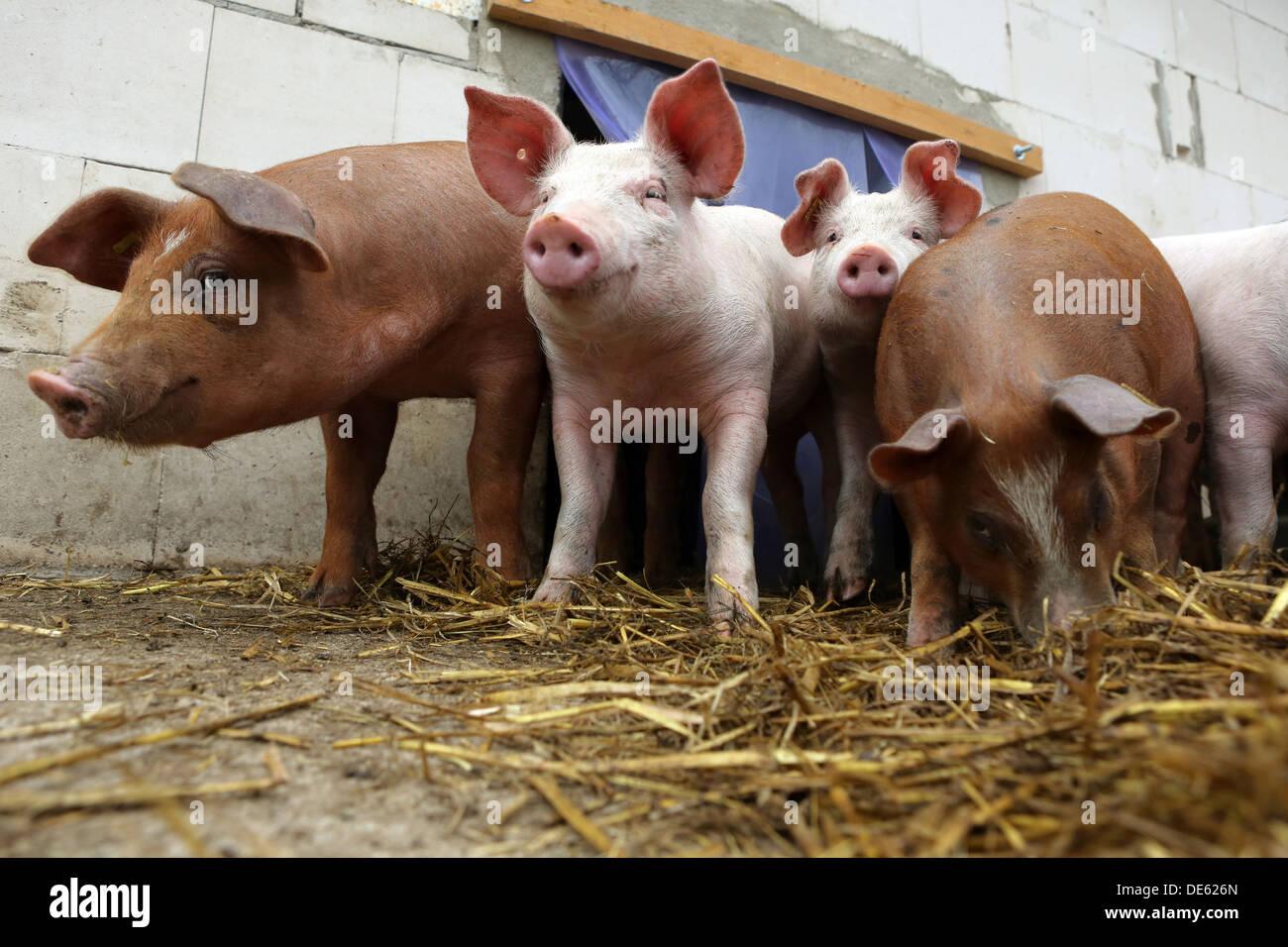 Resplendent village, Germany, Bentheim Black Pied Hogs and pigs - Stock Image