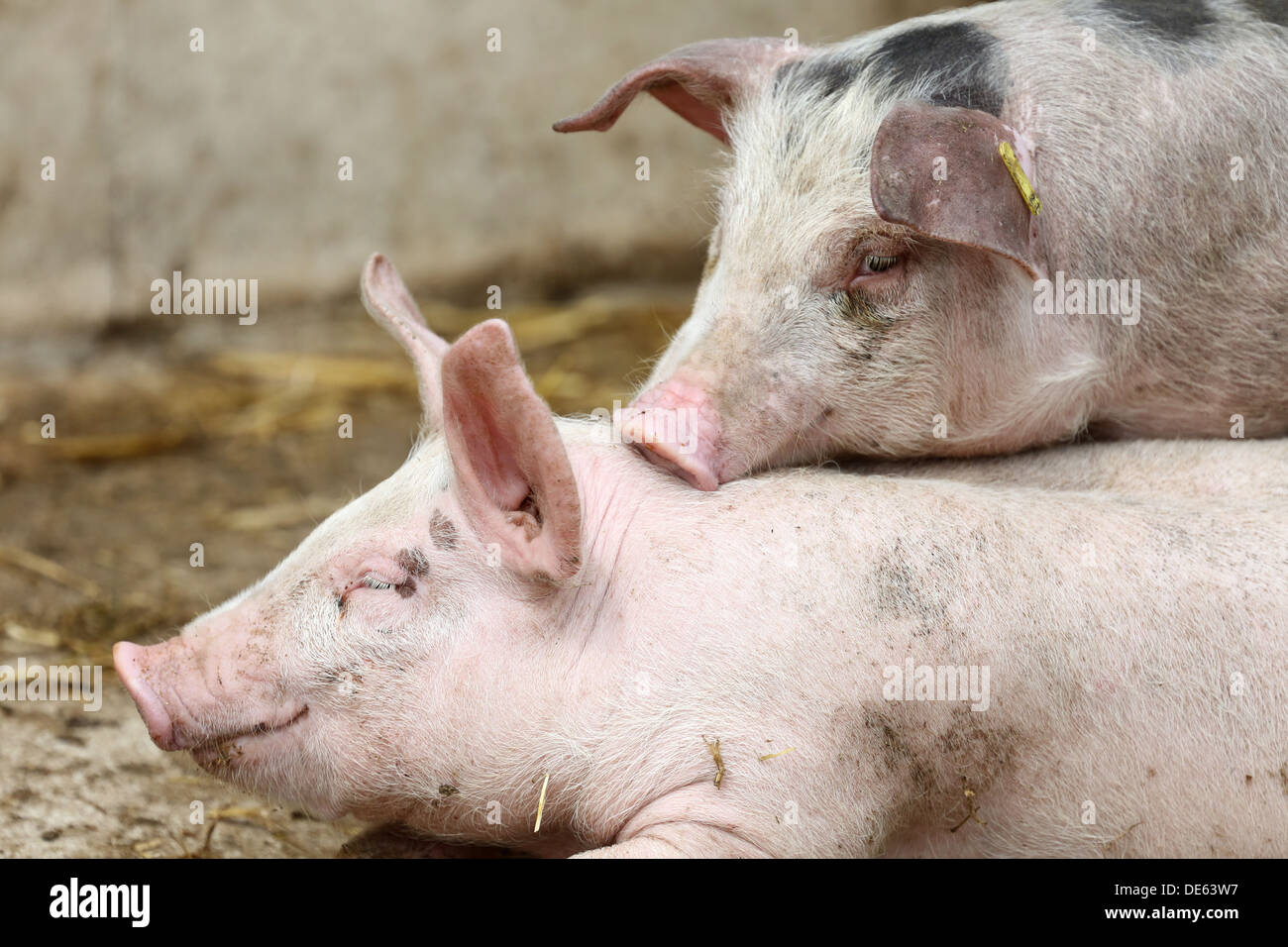 Resplendent village, Germany, domestic pigs - Stock Image