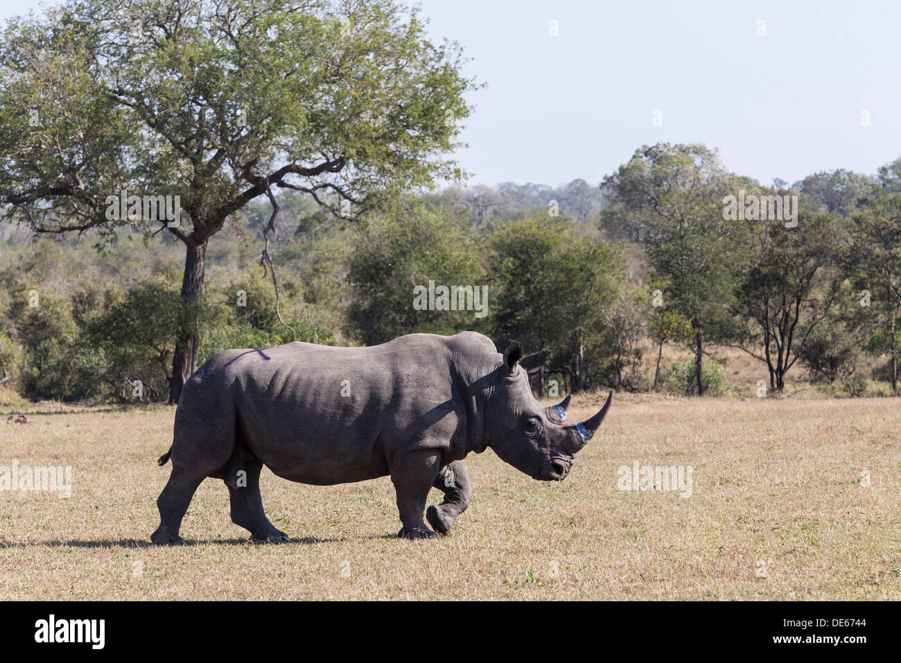A rhino walking off after having its horn treated with indellible dye and a toxin as an anti-poaching tereatiment - Stock Image