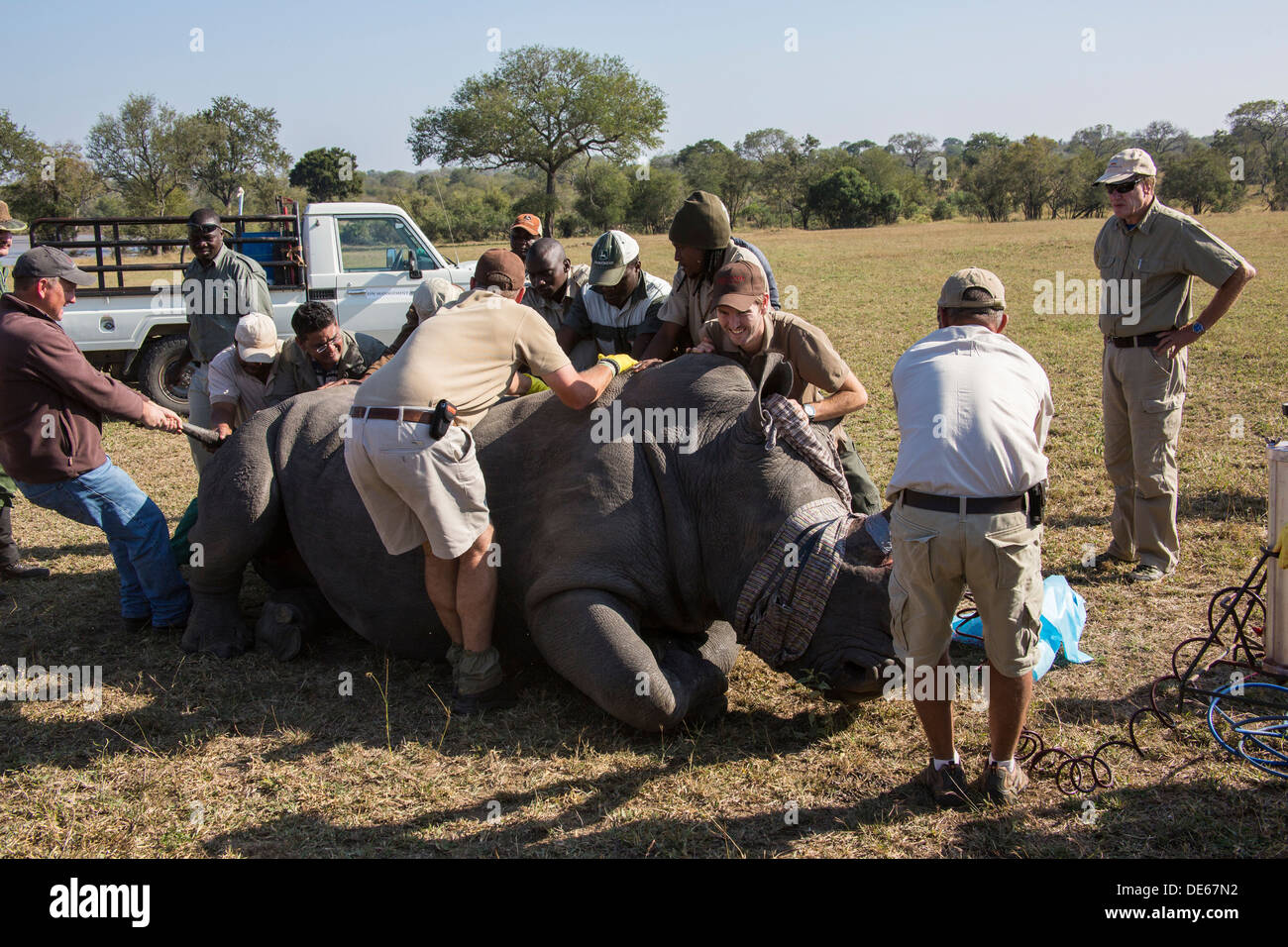 A tranquilized rhino bull being handled by fieldworkers during a rhino-horn treatment - Stock Image