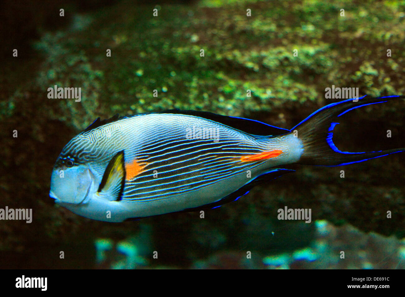 D-Bochum, Ruhr area, Westphalia, North Rhine-Westphalia, NRW, Tierpark and Fossilium Bochum, sohal surgeonfish, sohal tang, Acanthurus sohal - Stock Image