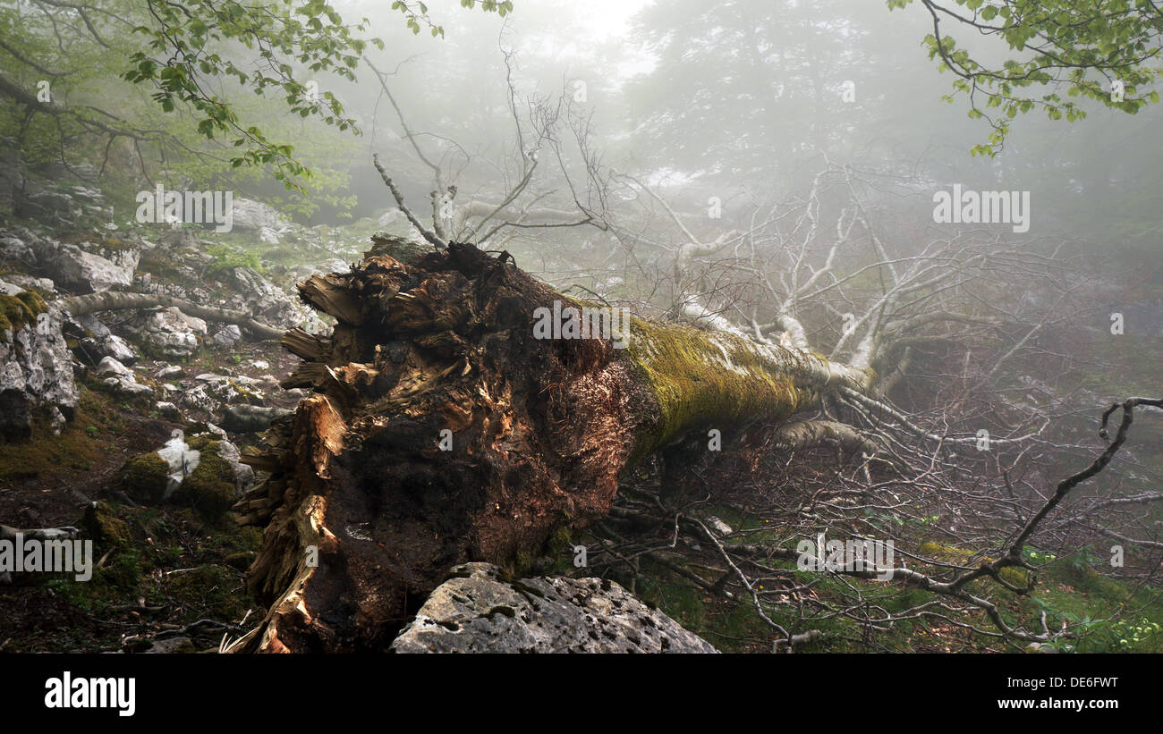 fallen and uprooted tree in foggy forest - Stock Image