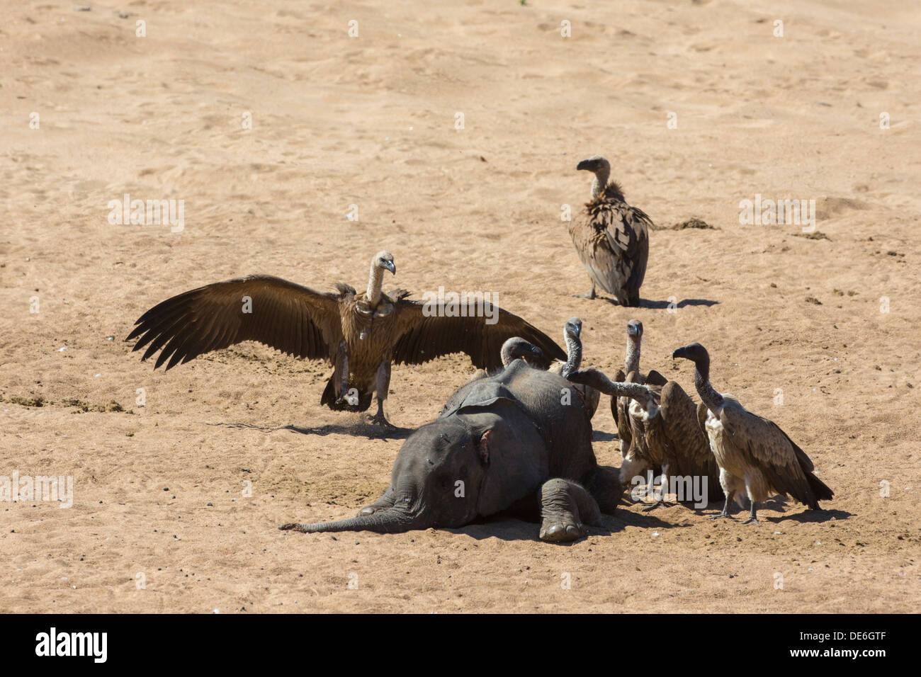 White-backed vultures around the carcass of a baby elephant - Stock Image