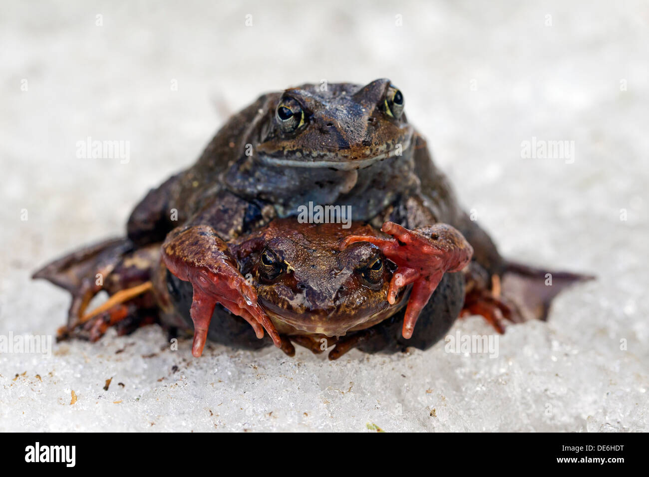 European common brown frogs (Rana temporaria) pair in amplexus migrating to breeding ground in spring in the snow - Stock Image