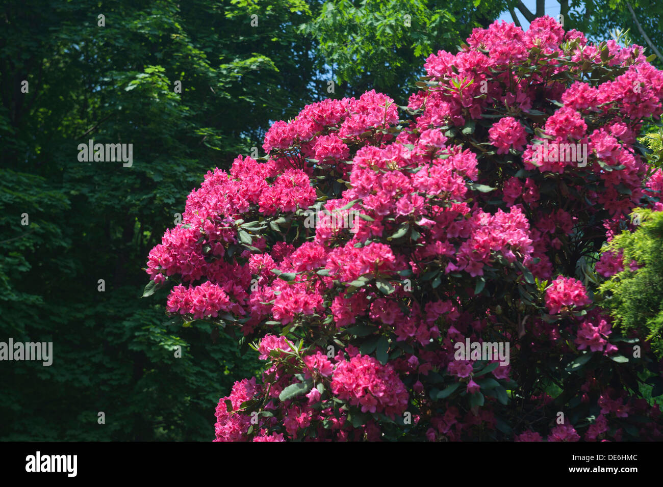SPRINGTIME PINK BLOSSOMS RHODODENDRON SHRUB - Stock Image