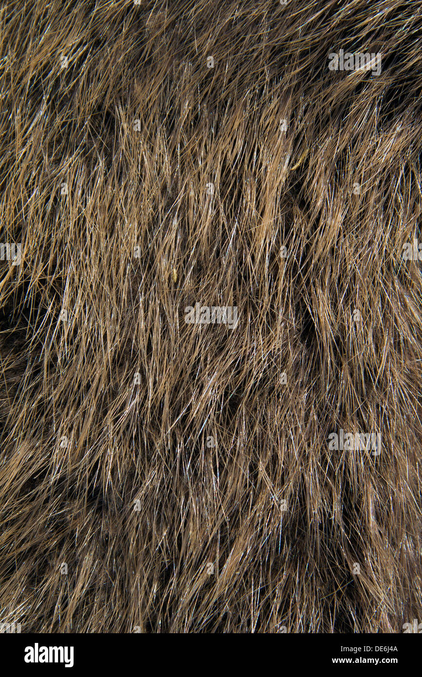 European beaver (Castor fiber) close up of brown fur Stock Photo