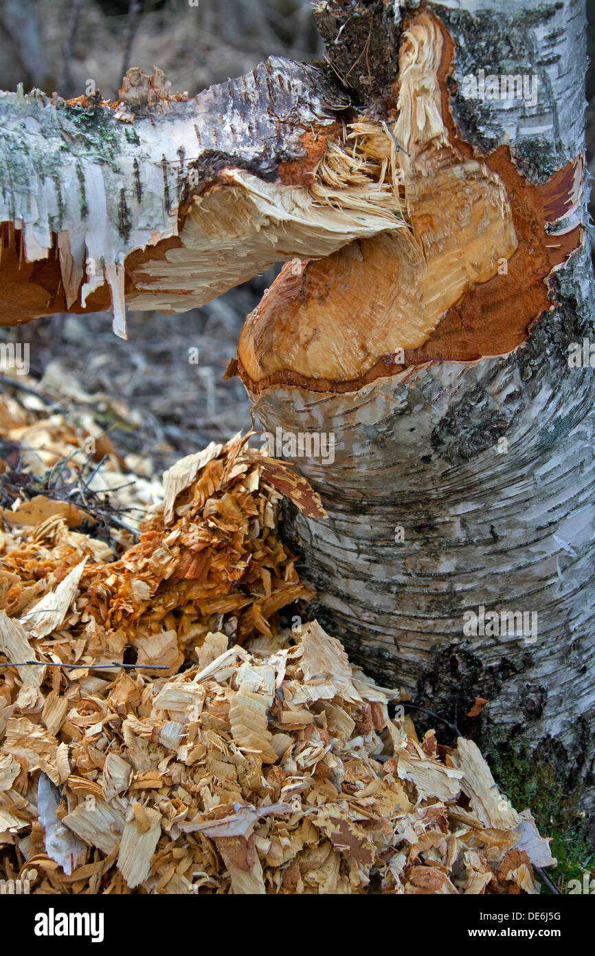 Wood chips around birch tree showing damage from gnawing by Eurasian beaver (Castor fiber) - Stock Image