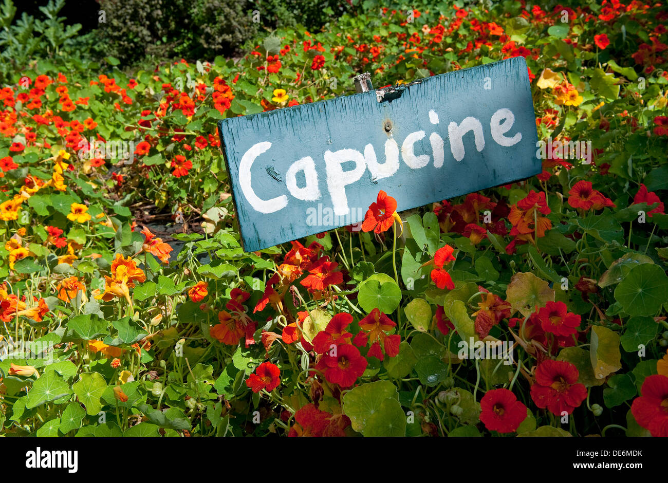 capucine in french kitchen garden, brittany, france - Stock Image