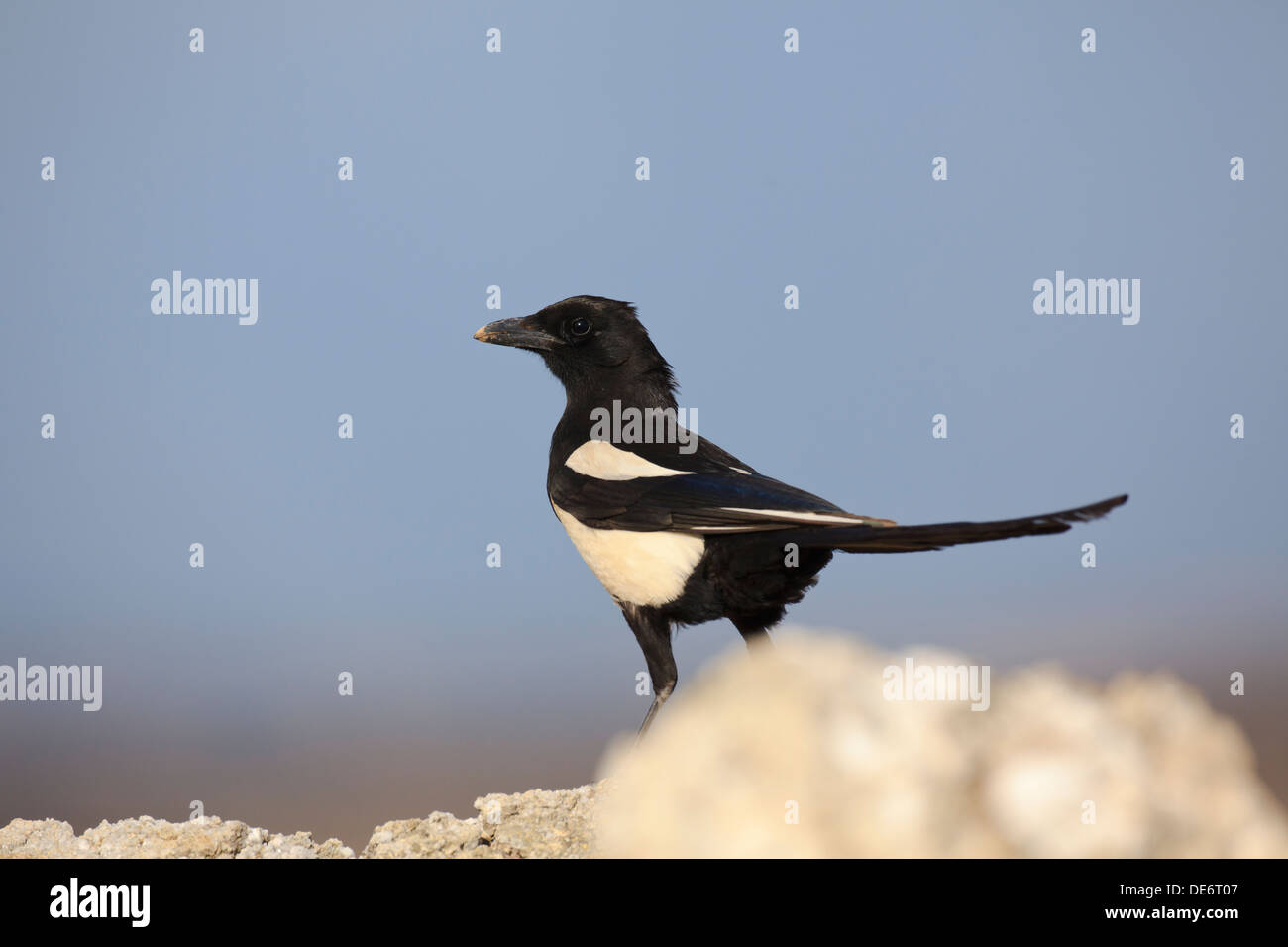 Common Magpie (Pica pica) perched on a stone. Lleida. Catalonia. Spain. Stock Photo