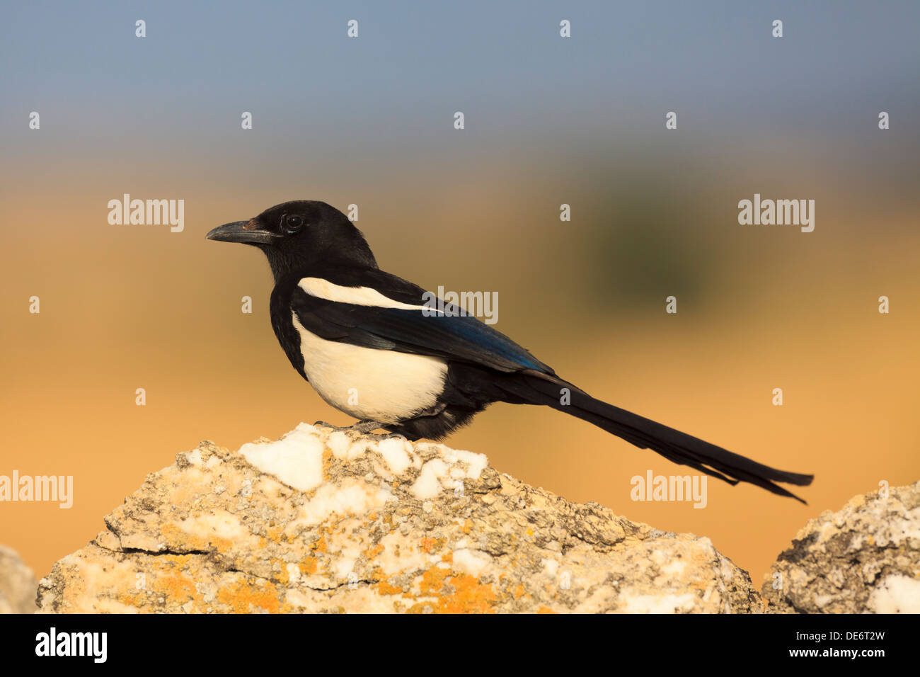 Common Magpie (Pica pica) perched on a top of a stone. Lleida. Catalonia. Spain. Stock Photo