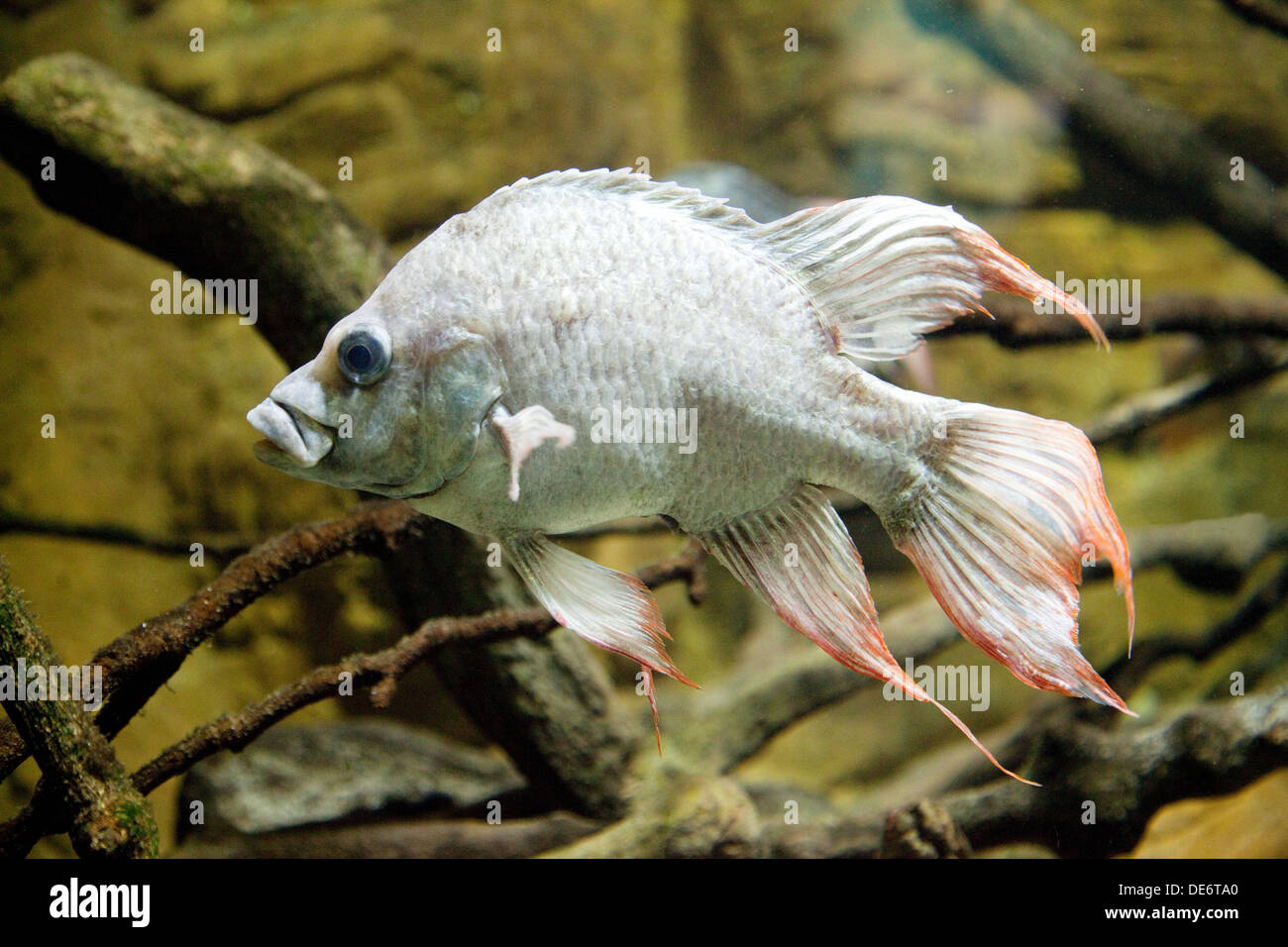 Mangarahara Cichlid, - Ptychochromis Mangarahara, from Madagascar, now extinct in the wild, critically endangered species - Stock Image