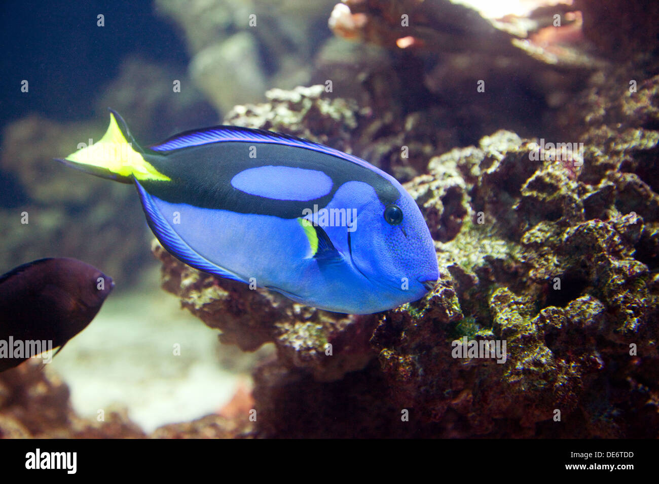 A Regal Tang or Surgeonfish, a tropical fish - Paracanthurus Hepatus, found in the Indo-Pacific - Stock Image