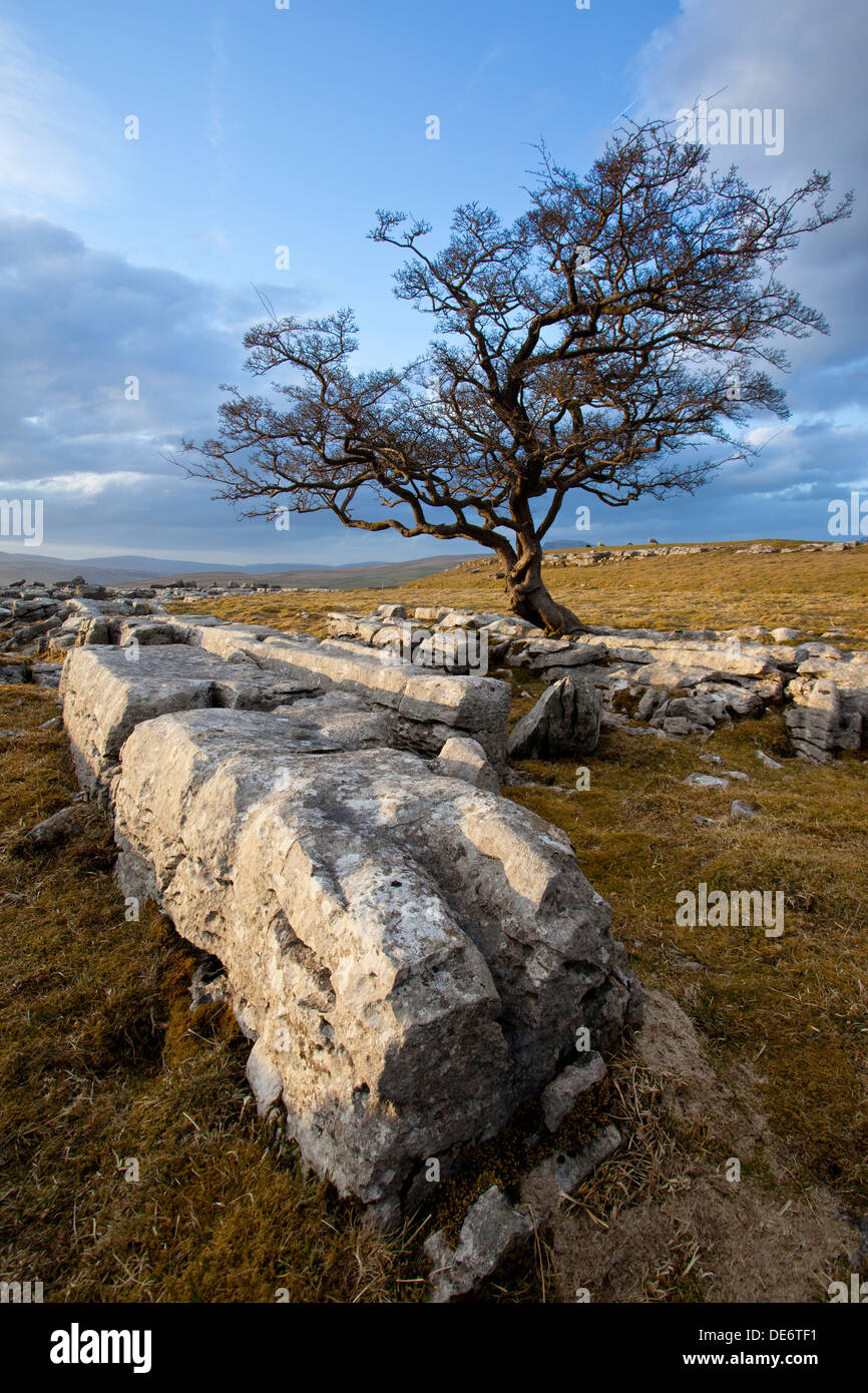 Hawthorn tree and Limestone pavement at Winskill Stones nature reserve near Settle, Yorkshire Dales, UK - Stock Image