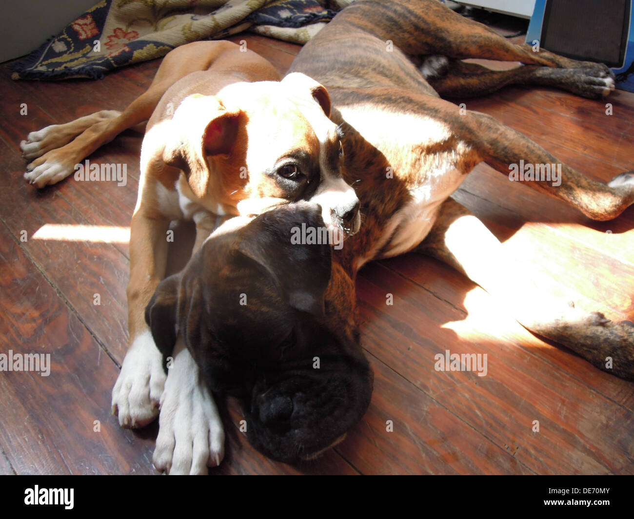 two boxer dogs lying down on the floor sleeping together under the sunshine - Stock Image