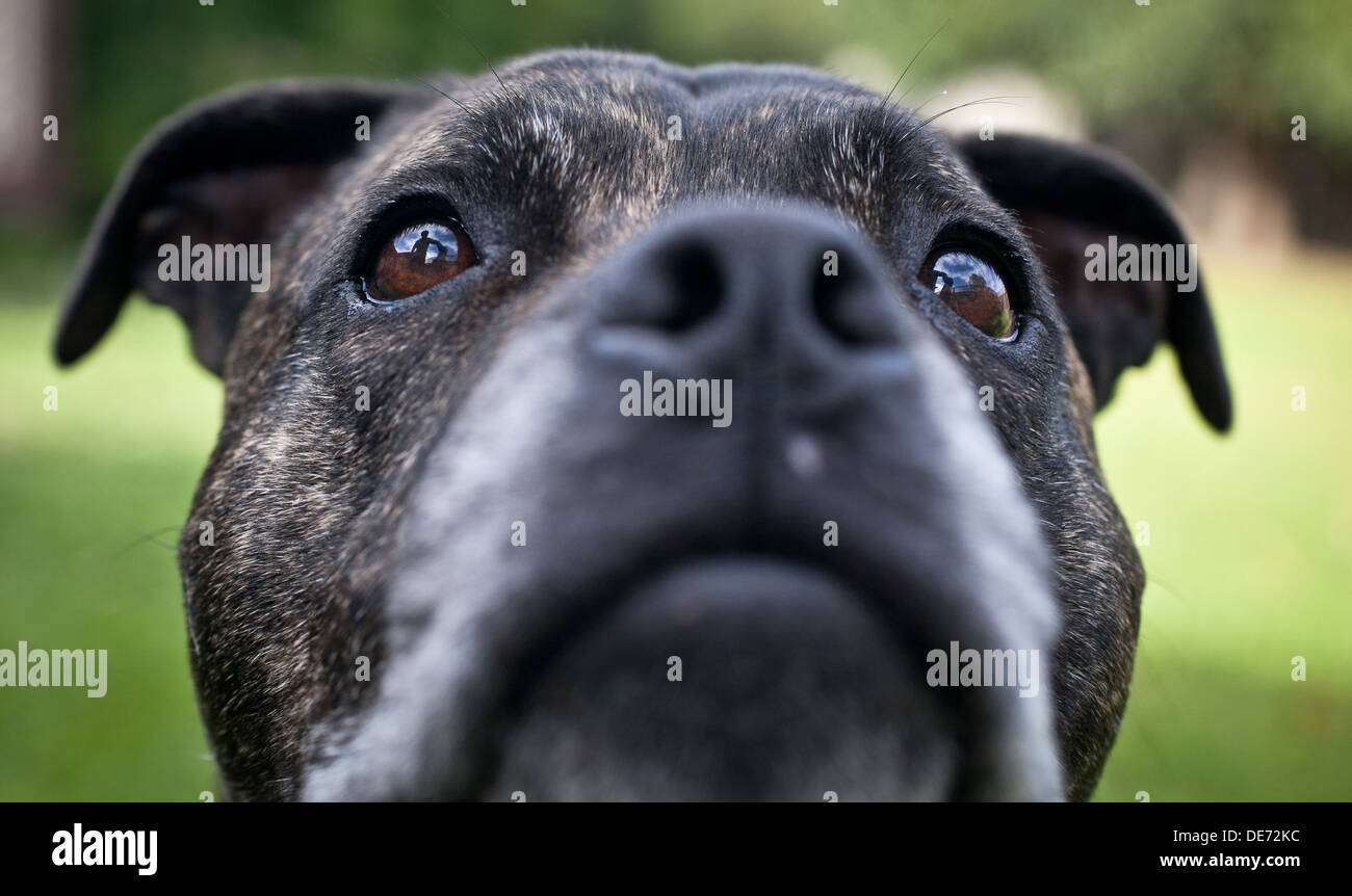 Staffie - Stock Image