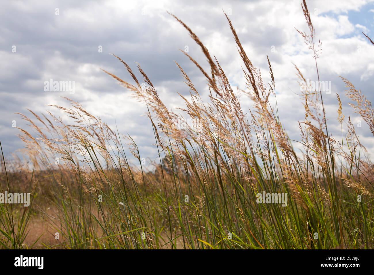 Dried wheat grass field - Pennsylvania, USA - Stock Image