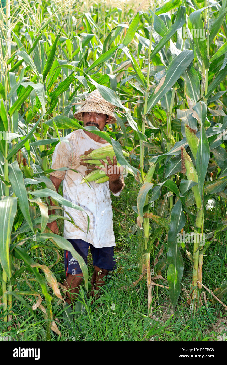 A Balinese farmer holding ripe ears of sweet corn during the harvest. Ubud Bali, Indonesia - Stock Image