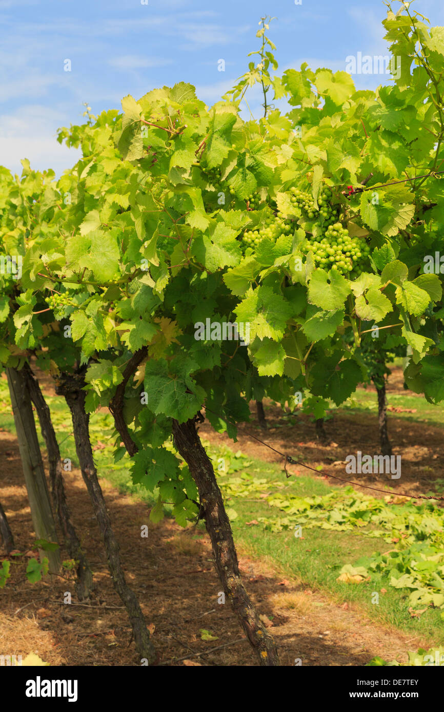 Rows of vines with ripening bunches of white grapes growing on a vineyard in late summer at Biddenden Kent England UK Britain - Stock Image