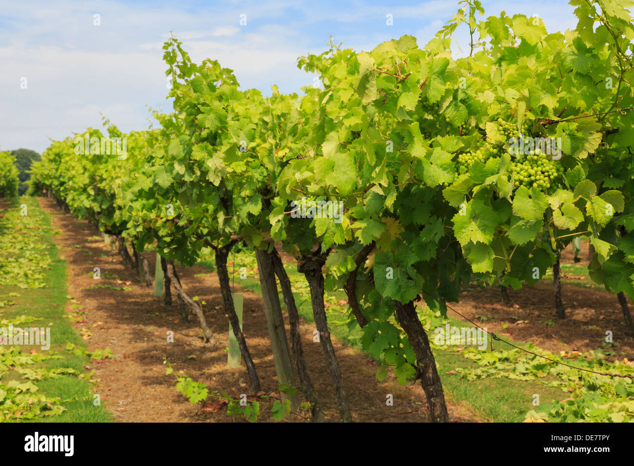 Rows of vines with ripening bunches of white grapes growing on a vineyard in late summer season at Biddenden Kent England UK Britain - Stock Image