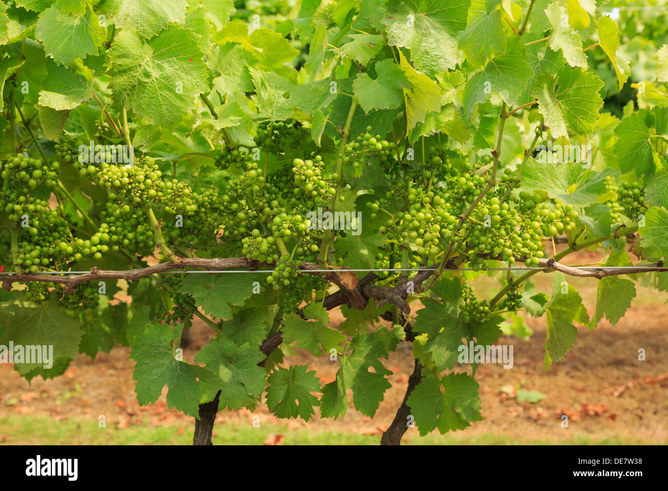 Ripening bunches of white wine grapes on vines growing in a vineyard in late summer at Biddenden, Kent, England, - Stock Image