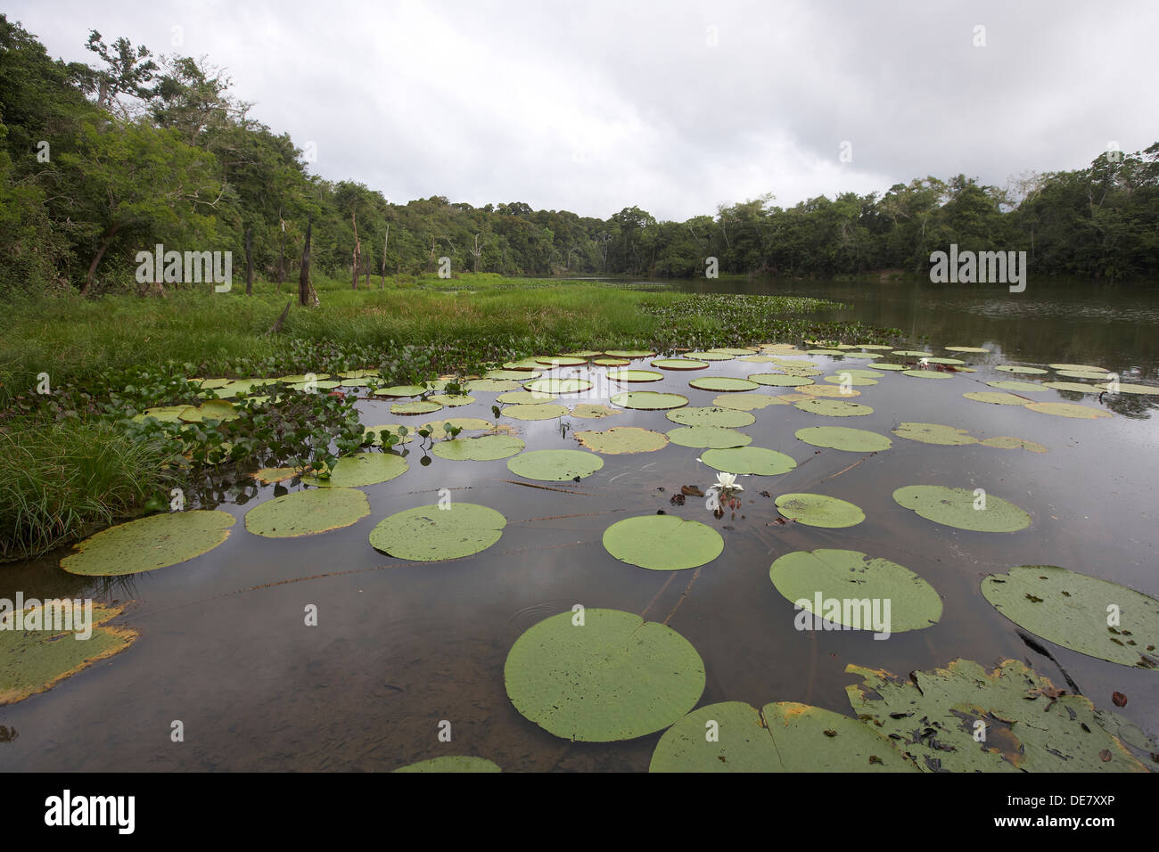 Victoria water lily pads on a oxbow lake off the Rewa River, Rupununi, Guyana, South America - Stock Image