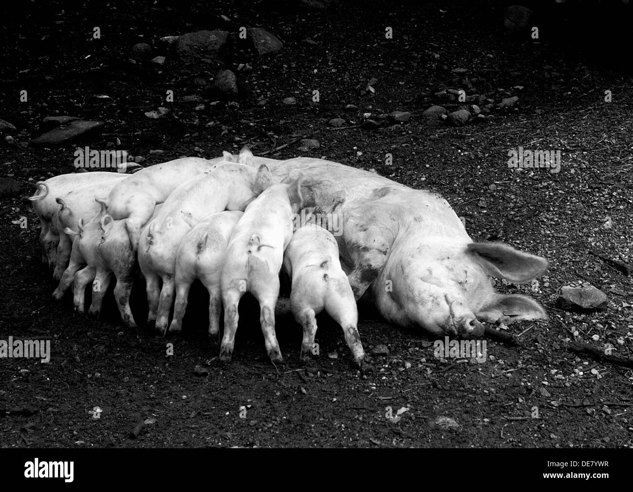 Mother pig feeding her piglets, Ballenberg, Ballenberg is an open air museum in Switzerland, More than one hundred century-old - Stock Image