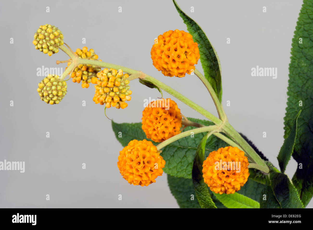 orange ball buddleja, Buddleja glabosa, large flowering shrub - Stock Image