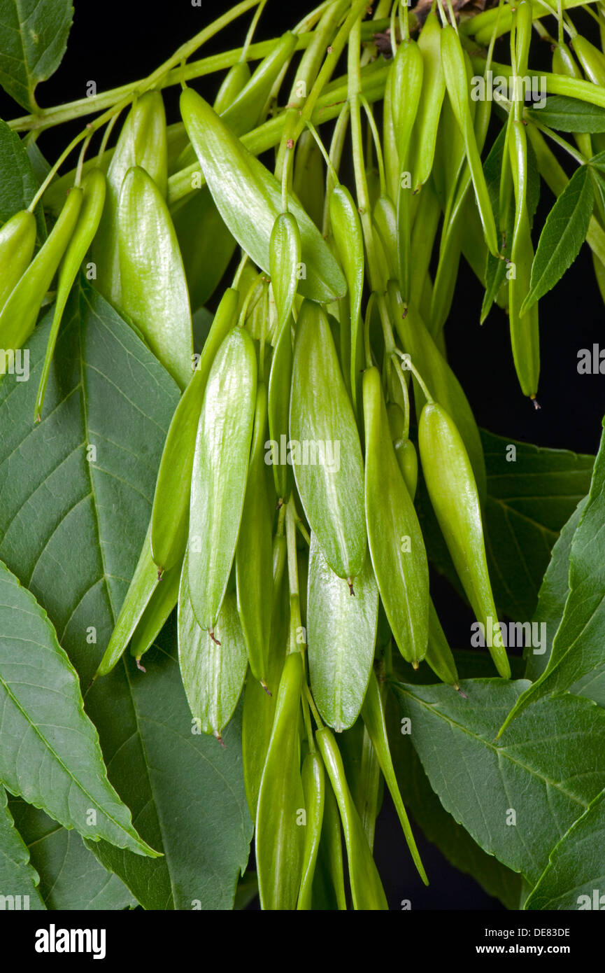 Seeds or fruit of an ash tree, Fraxinus excelsior, known as keys - Stock Image