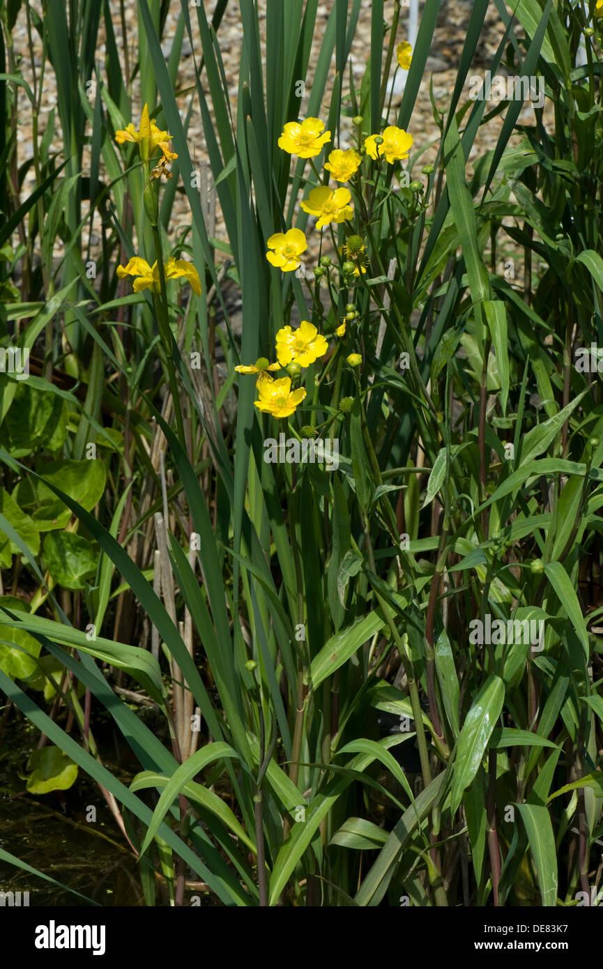 Greater spearwort, Ranunculus lingua, flowering in a garden pond - Stock Image