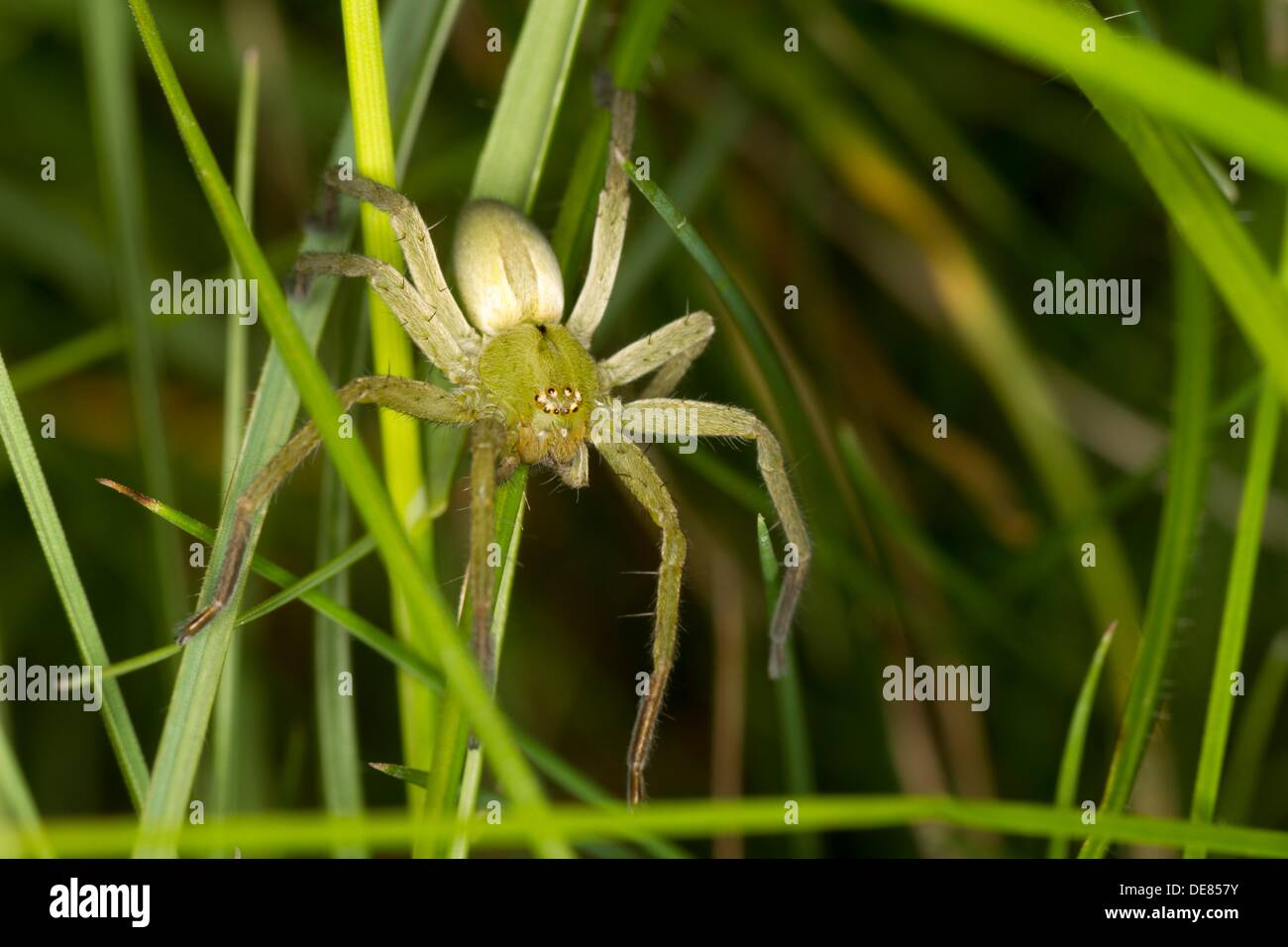 Micrommata ligurinum, South of France. - Stock Image