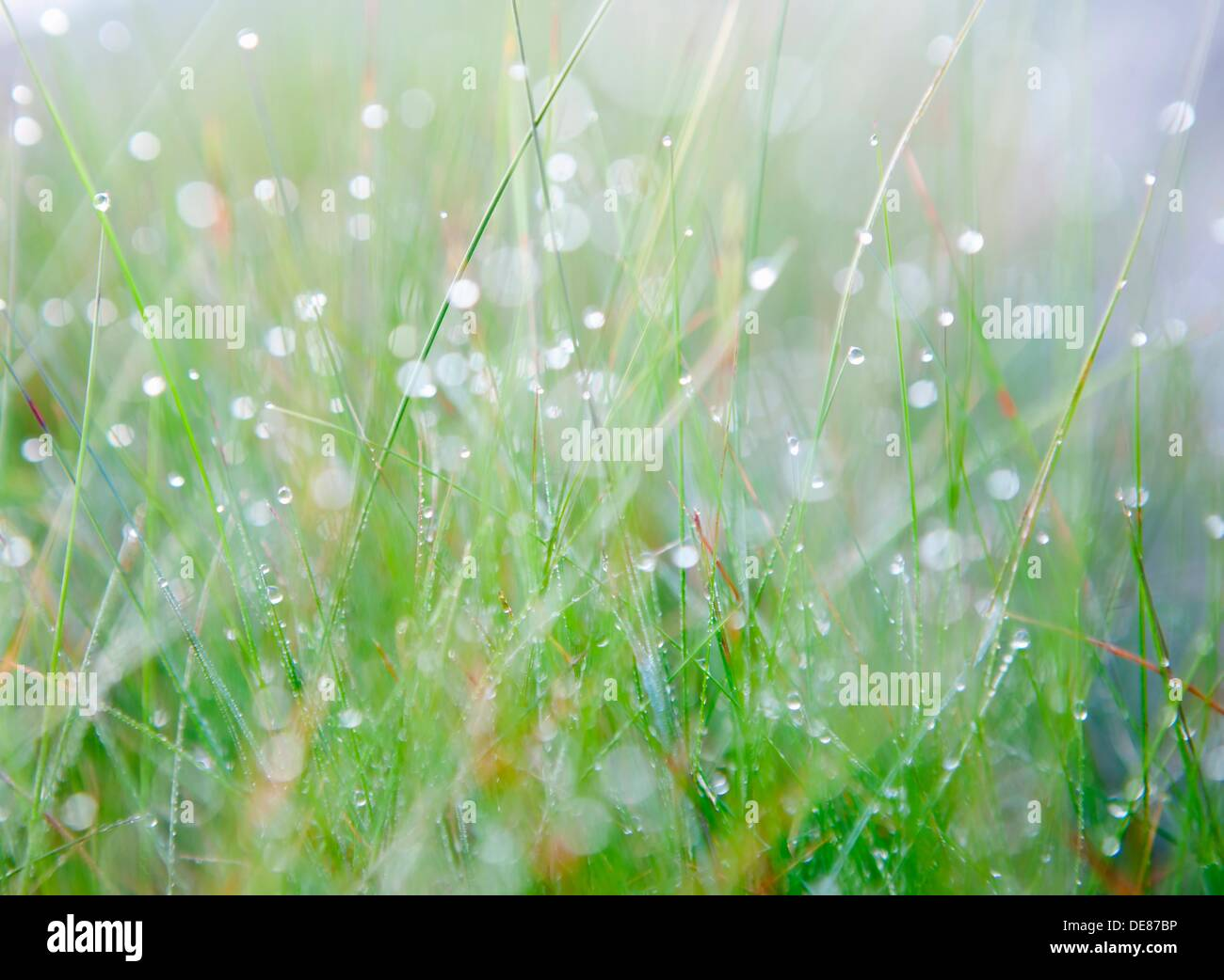 Makro shot of grass with early morning dew. Shallow DOF. - Stock Image