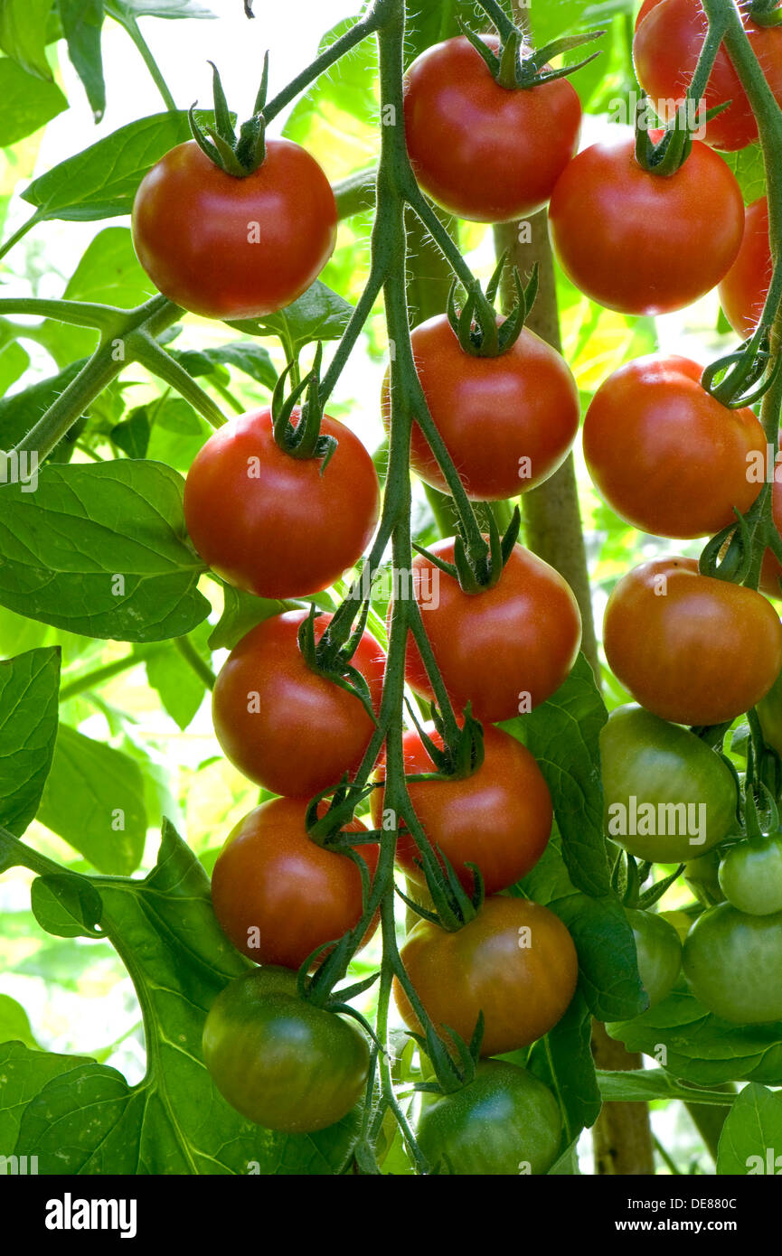 A ripening truss of greenhouse grown gardener's Delight Cherry tomatoes - Stock Image