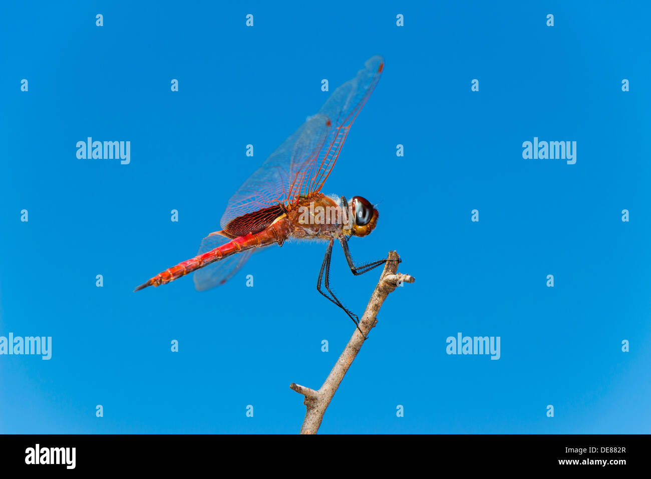 Side view of a Red Dragonfly perched on a branch against a blue sky background Stock Photo