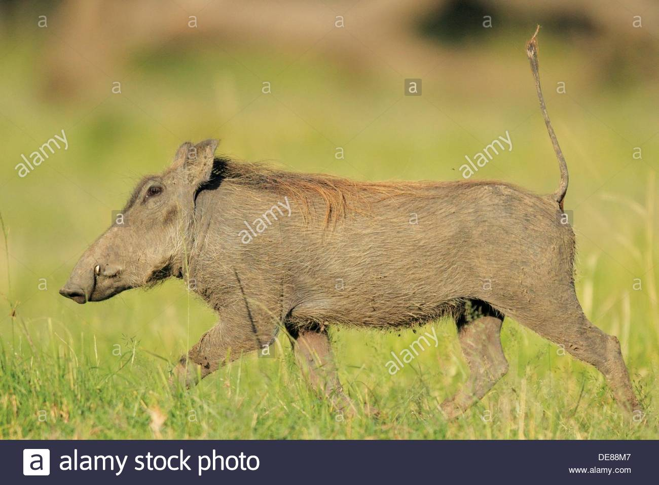 Any slight disturbance makes the warthog flee with his tail resmbling a radio antenna. - Stock Image