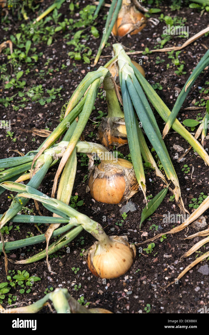 A row of onion setts in the ground. - Stock Image