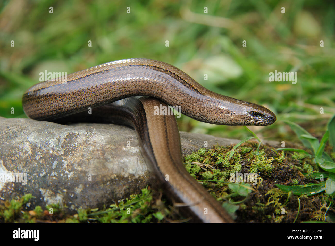 Female slow worm, Cumbria, UK (Anguis Fragilis) Stock Photo