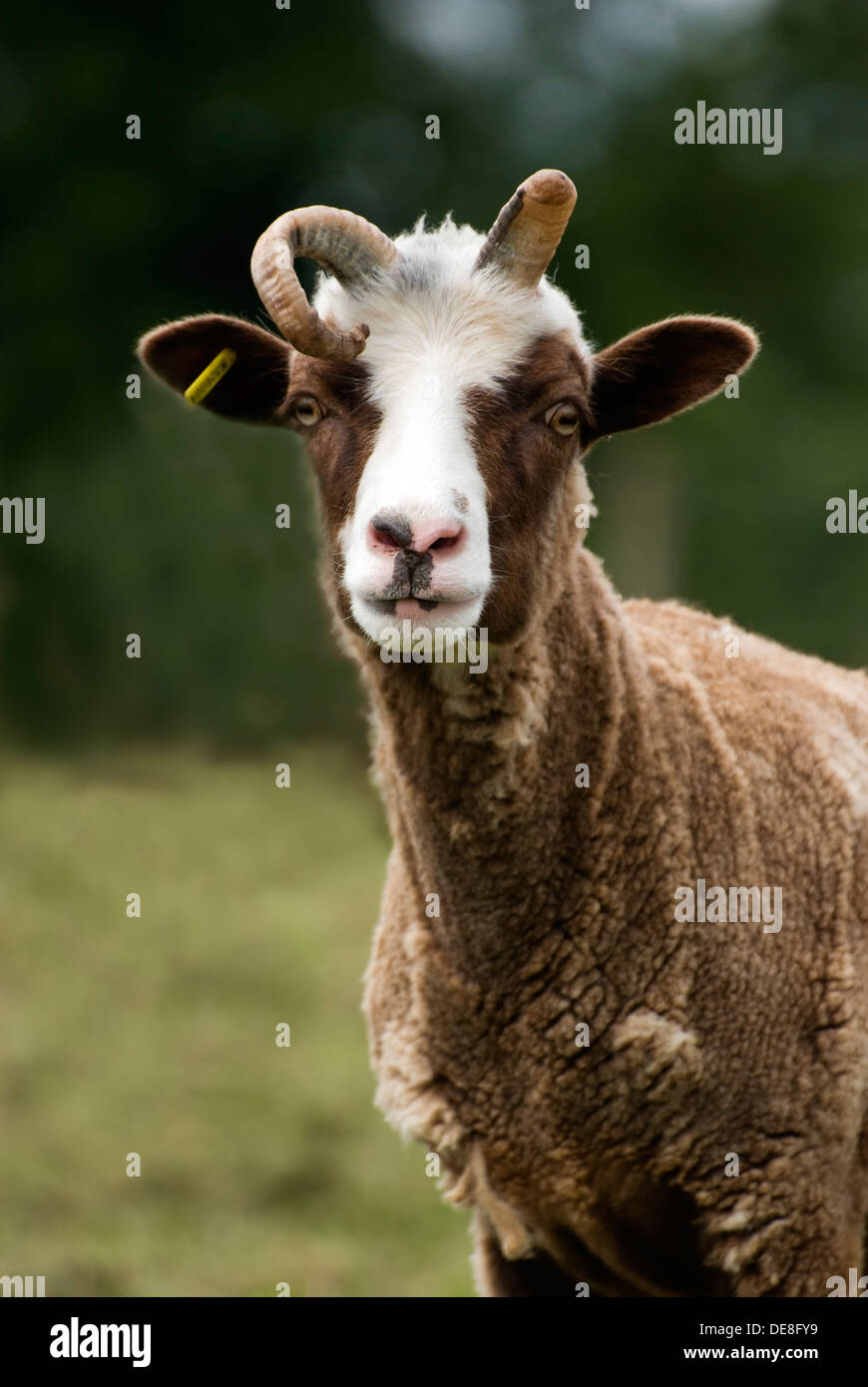 Manx Loaghtan sheep - Stock Image