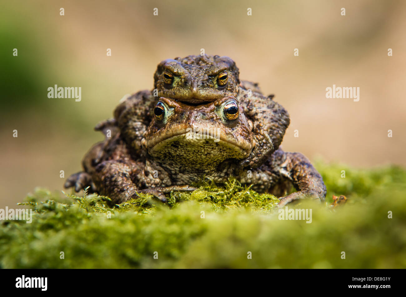 Common toads mating - Stock Image