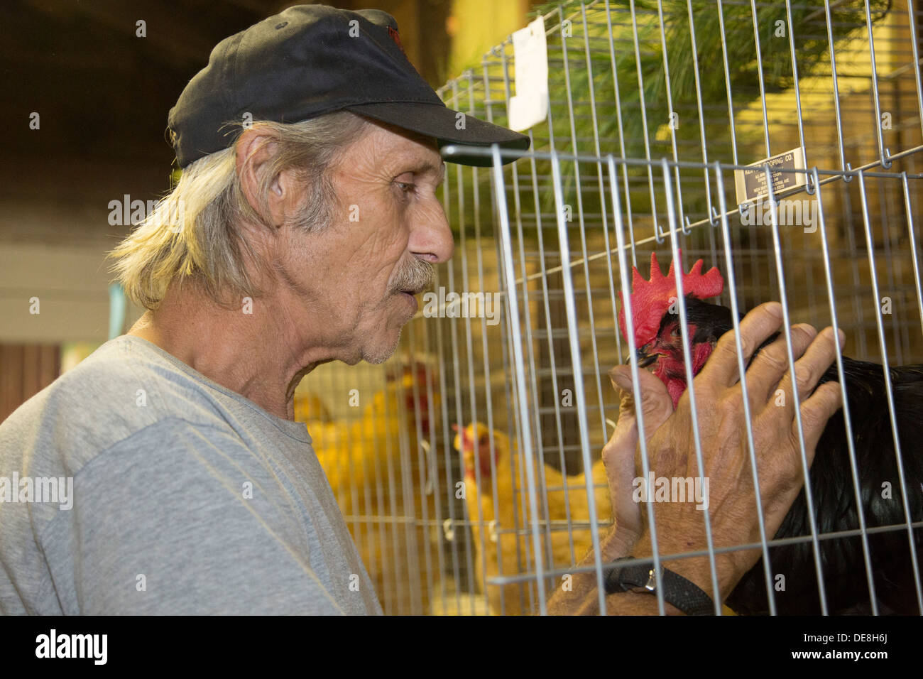 Chatham, New York - A man with one of the chickens he is showing at the Columbia County Fair. - Stock Image